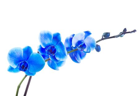 blue orchid: blue orchid isolated on white background