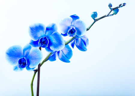 blue orchid on blue background Imagens