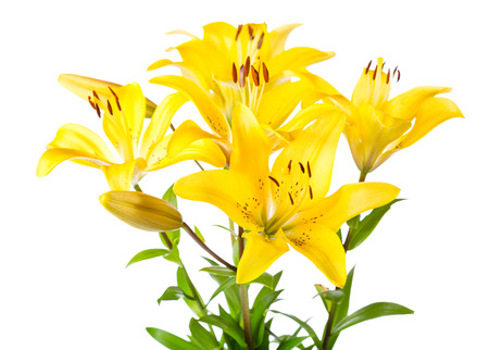 floral objects: bouquet of yellow lilies isolated on white background