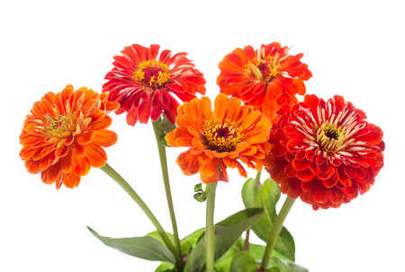 mazzo di fiori: bouquet of red zinnia flowers isolated on white background