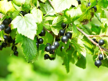 black currant: branch of black currant in a garden Stock Photo