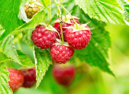 branch of raspberries in a garden 写真素材