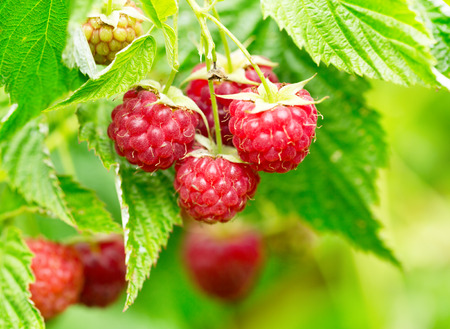 branch of raspberries in a garden Banco de Imagens