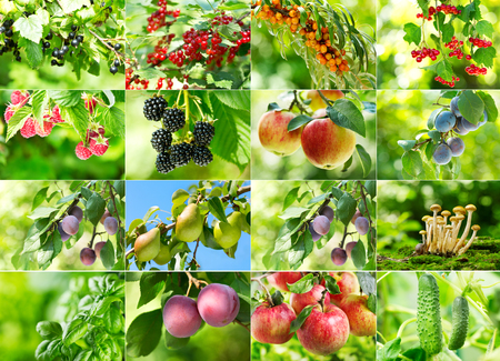 red currant: collage of various fruits and berries in the garden