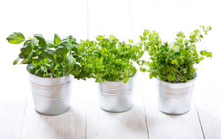 green herbs: fresh green herbs in pots on a wooden table