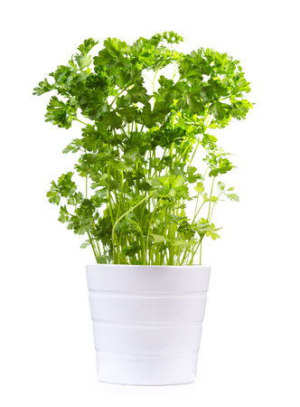 perejil: fresh parsley in a pot isolated on white background Foto de archivo