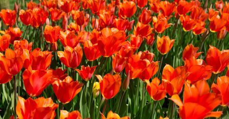 floral objects: red tulips in a spring park