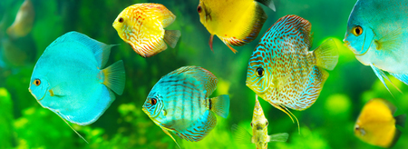 discus: colorful tropical discus fish on green background, banner