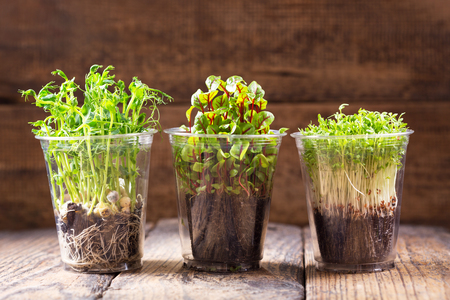 growing cress plants in a pots on wooden table Stock Photo
