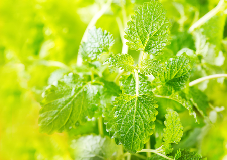 fresh mint leaves on a green background Stock Photo