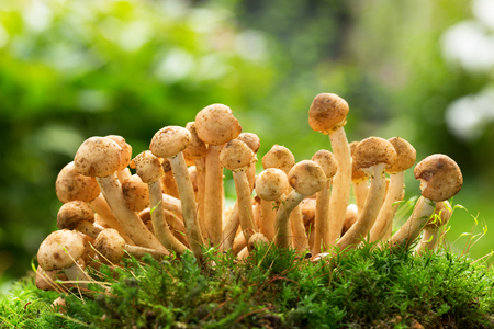 close up of  edible mushrooms ( honey agarics)  in a forest on green background