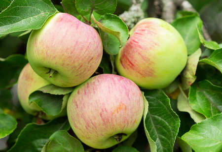 close up of ripe apples on a tree in a garden Stockfoto