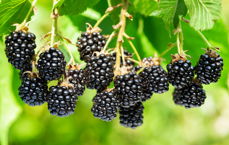 close up of branch of ripe blackberries in a garden