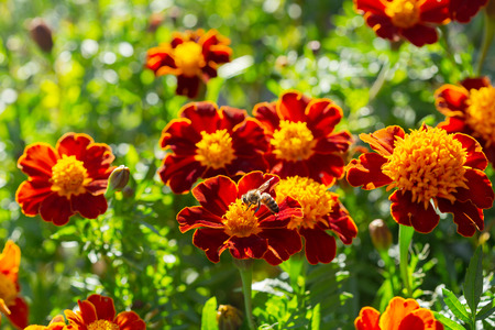 close up of colorful marigold flowers in a garden