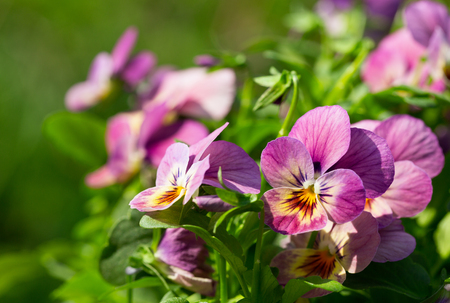close up of colorful pansy flowers in a garden