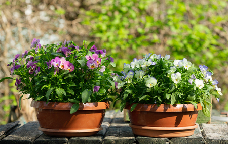 colorful pansy flowers in  a pots   in the garden Stockfoto