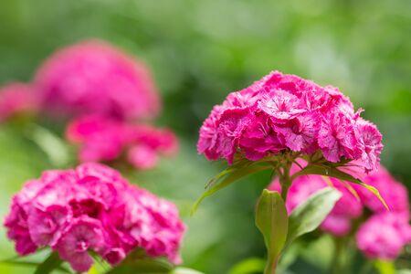pink carnation flower in a garden on green background Reklamní fotografie