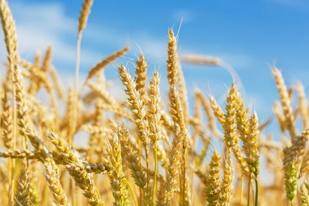 Close up of wheat ears. Field of wheat in a summer day. Harvesting period