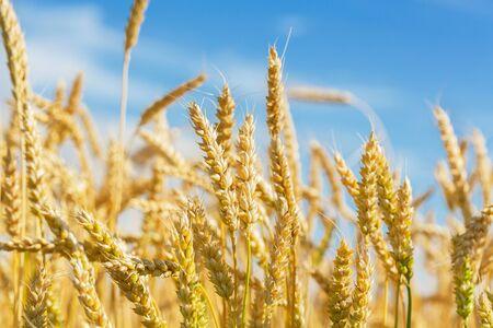 Primo piano di spighe di grano. Campo di grano in un giorno d'estate. Periodo di raccolta