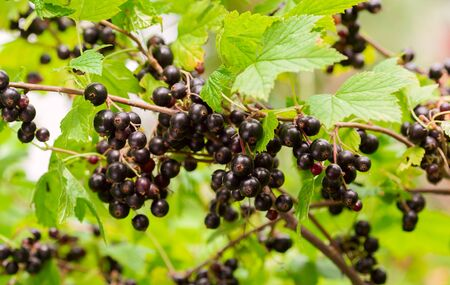 branch of ripe black currant in a garden on green background