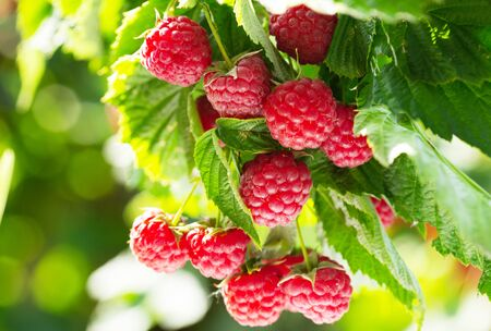 close up of branch of ripe raspberries in a garden