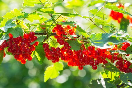 branch of ripe red currant in a garden on green background Reklamní fotografie - 127584243