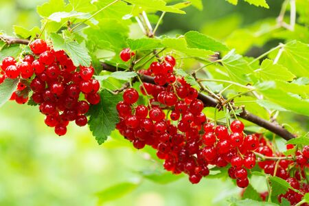 branch of ripe red currant in a garden on green background