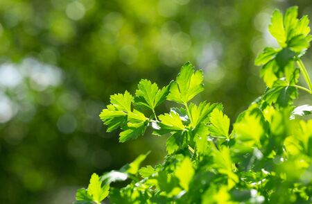 fresh parsley growing in a garden on green background