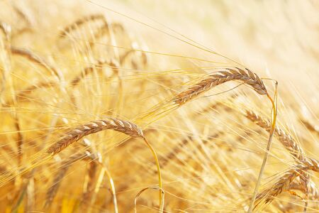 Close up of ripe barley ears in a field. Harvesting period.