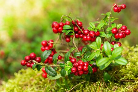 bush of wild ripe cowberry in a forest