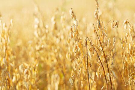 Ripe ears of oats in a field. Harvesting period Reklamní fotografie