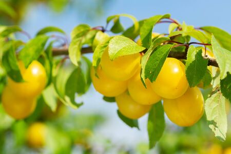 close up of branch of ripe yellow plums in a garden Reklamní fotografie
