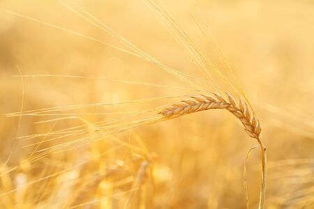 Close up of barley ears in a field. Harvesting period Reklamní fotografie - 128386399