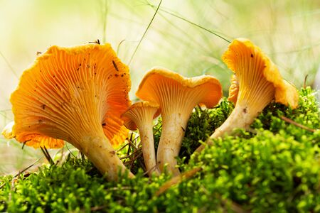 Close up of chanterelle mushrooms in a forest. Edible mushrooms Reklamní fotografie - 128386454
