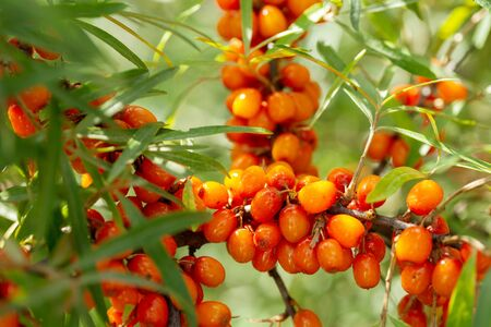 branch of ripe sea buckthorn berries in a garden Reklamní fotografie - 128386468