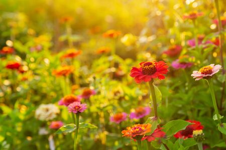 colorful zinnias flowers in a garden Stockfoto