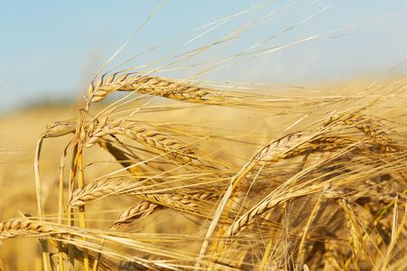 Close up of barley ears in a field. Harvesting period Reklamní fotografie