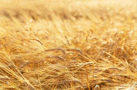 Field of barley in a summer day. Harvesting period