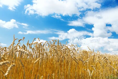 Close up of wheat ears, field of wheat in a summer day. Harvesting period
