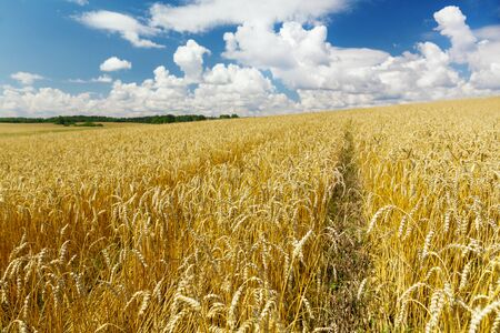field of ripe wheat in a summer day. Harvesting period Stockfoto
