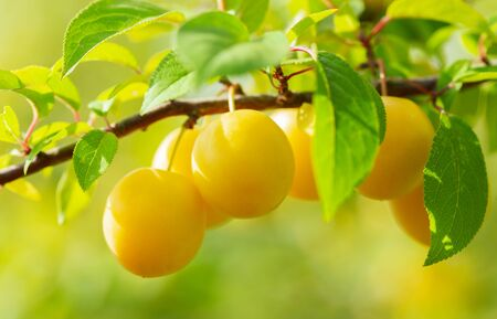 close up of branch of ripe yellow plums in a garden Stockfoto