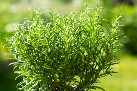 fresh rosemary growing in a garden on green background
