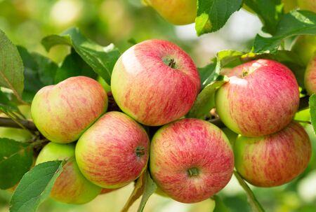 branch of ripe apples on a tree in a garden Reklamní fotografie