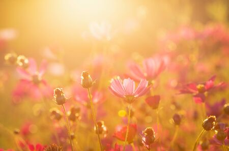 colorful red flowers in a field at sunset background