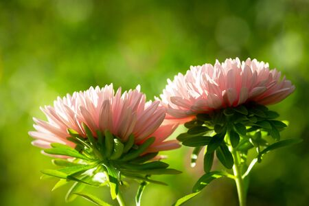 close up of pink aster flowers on green background