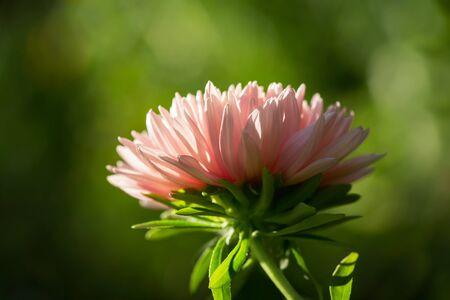 close up of pink aster flower on green background Reklamní fotografie