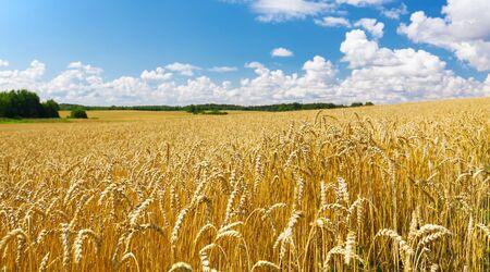 Primo piano di spighe di grano, campo di grano in una giornata estiva. Periodo di raccolta