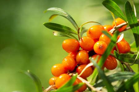 branch of ripe sea buckthorn berries in a garden