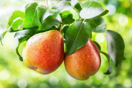 fresh ripe pears on a tree in a garden on green background
