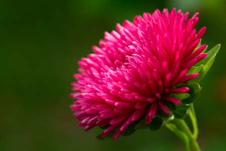 blooming aster flower on a green background